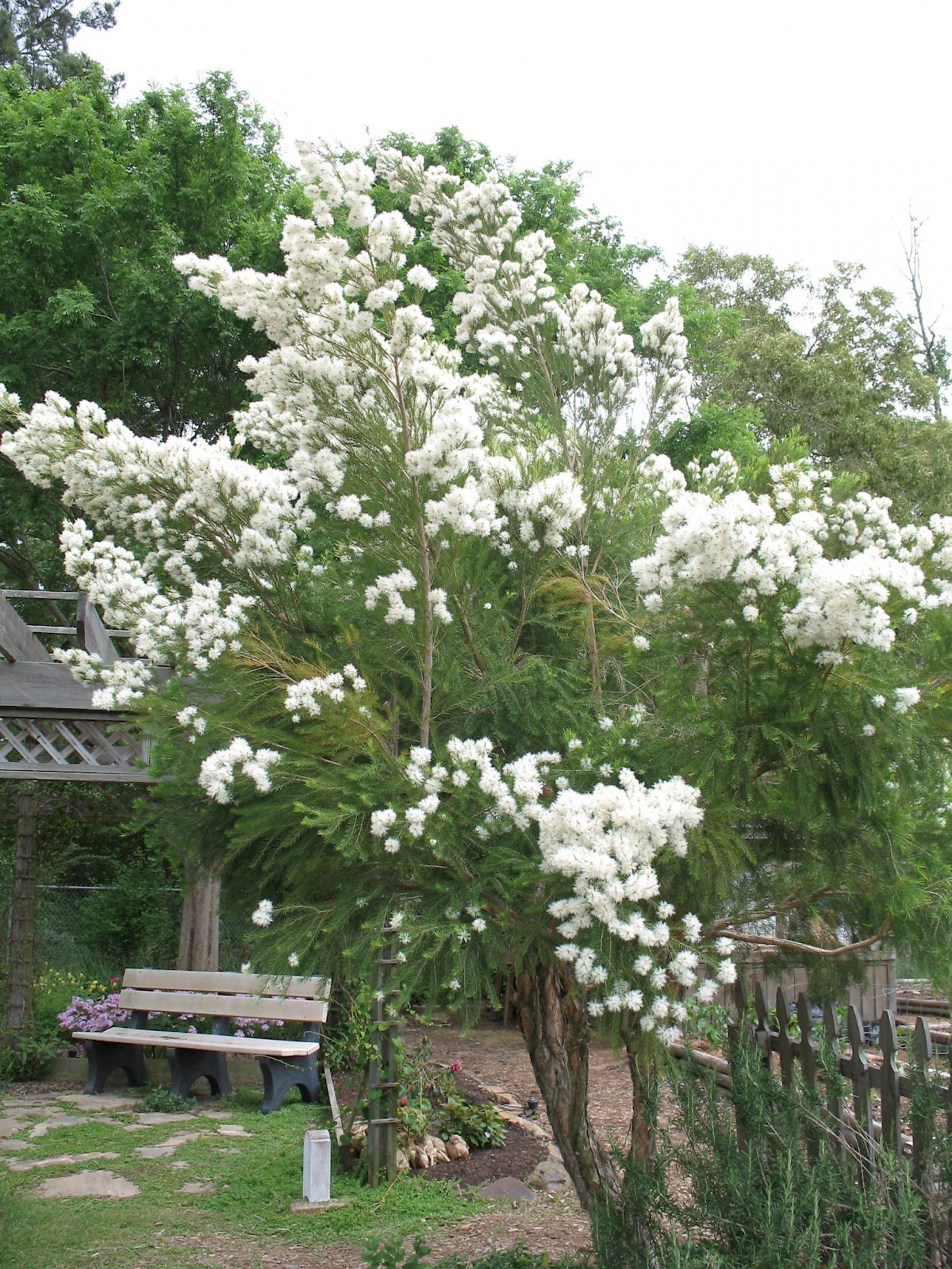 Picture of a Tea Tree (used for making tea tree oil)