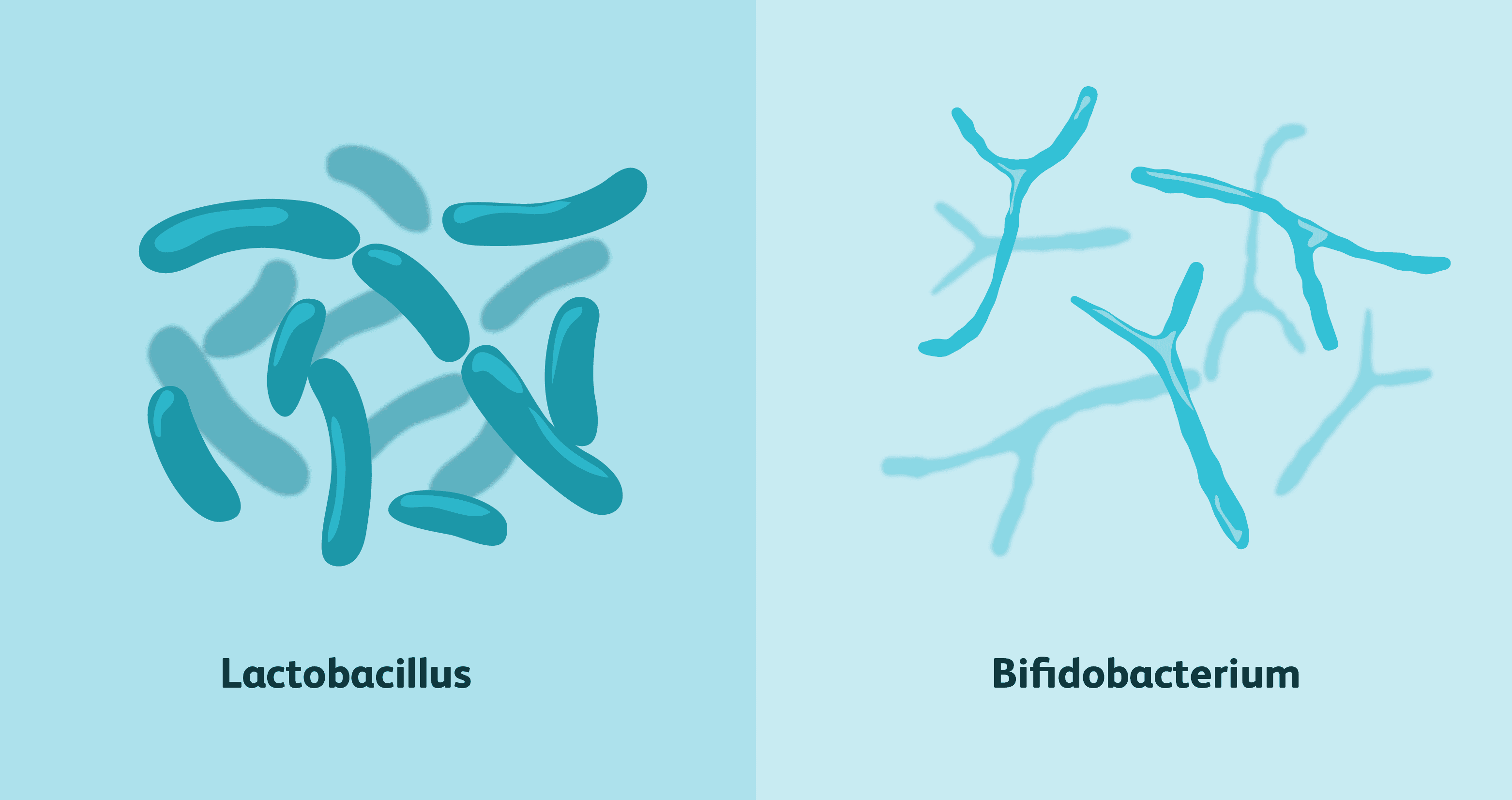 Bifidobacterium is a great probiotic; however what you should really have, in addition to Bifidobacterium, are Lactobacillus; such as Lactobacillus acidophilus.