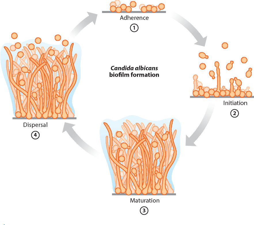 This picture shows the phases of Candida albicans biofilm formation. Biofilm plays a key role in protecting Candida cells from threats; and, biofilm can cause it to become 1024 times more resistant to synthetic antifungal drugs.
