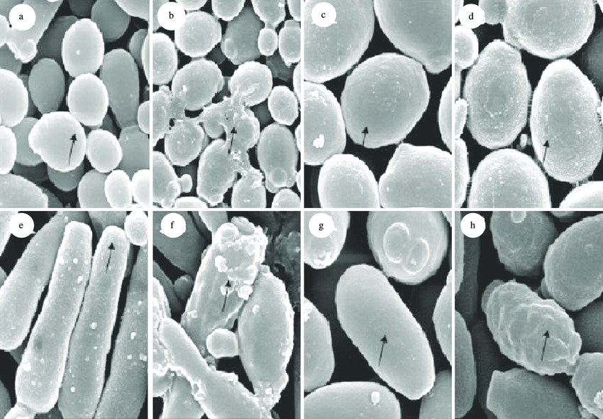 Candida albicans (a and b), C. glabrata (c and d), C. guilliermondii (e and f), and C. parapsilosis (g and h) after xanthorrhizol treatment.