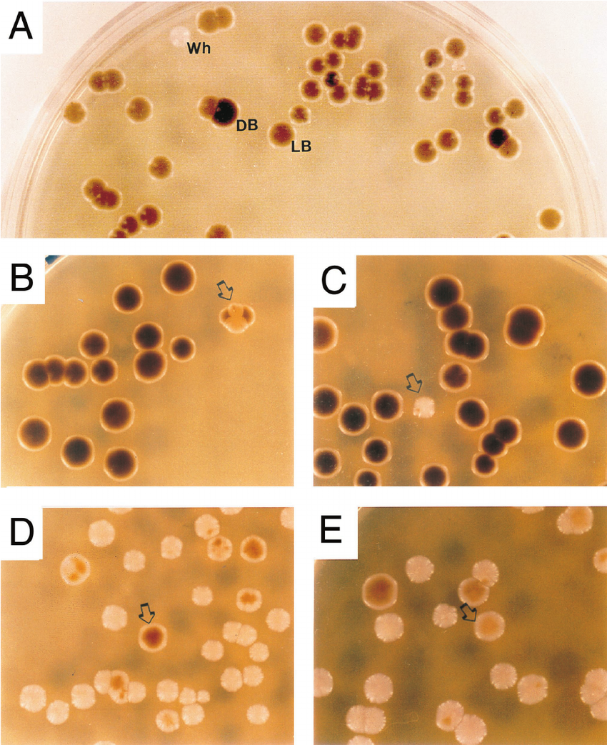 Pictured here is Candida glabrata.  Yeast, such as this, can enter the blood stream and cause Candidemia.