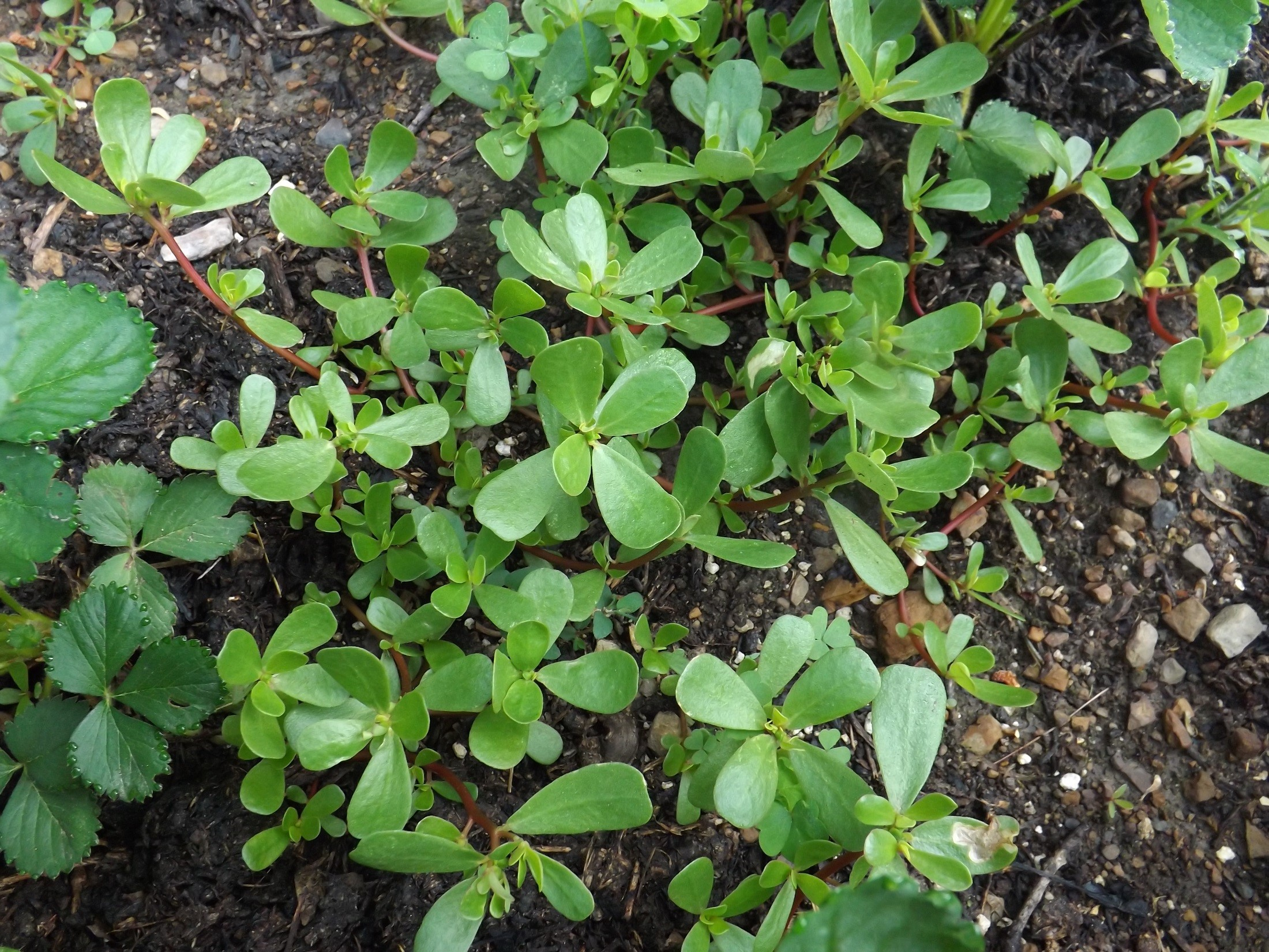 Purslane is rich in vitamins and is a good choice to keep your immune system working well.  However, it may not actually inhibit or kill yeast by itself; so, include other antifungal herbs in your remedy!