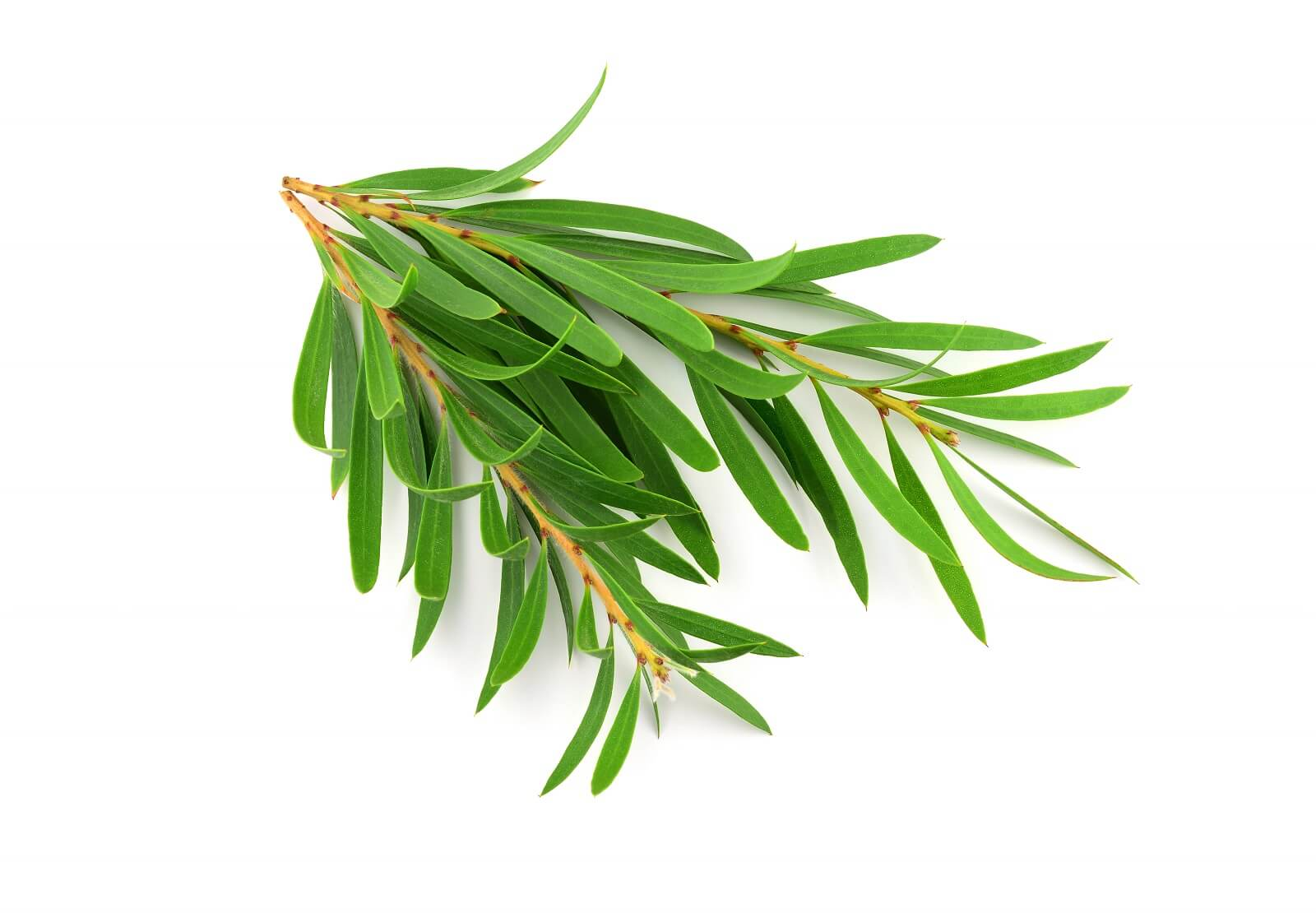 The leaves of the tea tree (Melaleuca) are collected and the oil is distilled from these leaves.  Tea tree oil for yeast infections is a great treatment as this oil has strong antifungal efficacy.