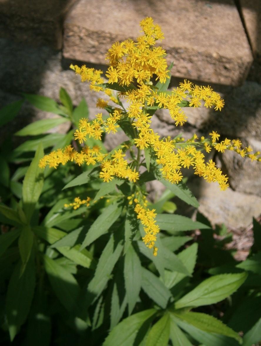 A picture of the goldenrod plant.